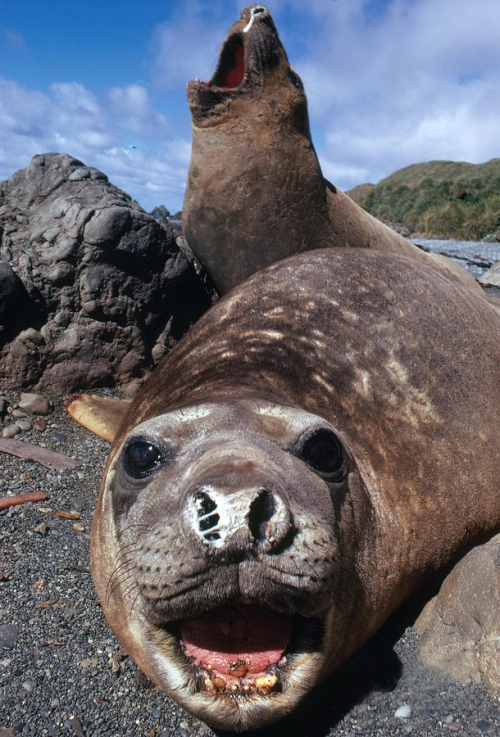 bull elephant seals