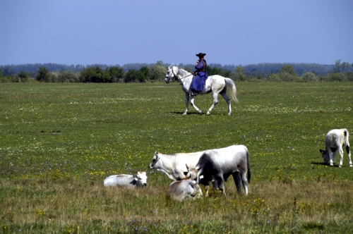 "Riding herd on some Hungarian Gray or ""Steppe"" cattle"